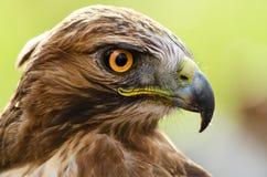 Plan rapproché d'aigle avec de grands yeux oranges Image stock