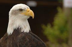 Plan rapproché d'aigle chauve Images stock