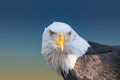 Plan rapproché d'aigle chauve image libre de droits