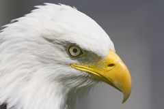 Plan rapproché d'aigle chauve Photographie stock libre de droits