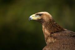 Plan rapproché d'aigle d'or ensoleillé contre des arbres Image libre de droits