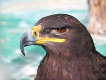Plan rapproché d'aigle fauve de steppe Photographie stock libre de droits