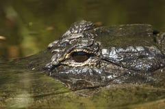 Plan rapproché d'alligator Photographie stock