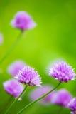 Plan rapproché d'allium de floraison avec le fond vert trouble Image stock
