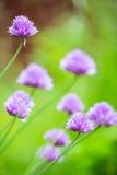 Plan rapproché d'allium de floraison avec le fond vert trouble Image libre de droits