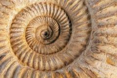 Plan rapproché d'ammonite Image libre de droits