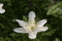Plan rapproché d'anémone de fleur Image stock