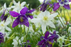 Plan rapproché d'ancolie de fleurs pourpres et blanches sur un lit de fleur image stock