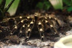 Plan rapproché d'araignée d'oiseau Photo libre de droits