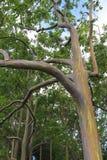 Plan rapproché d'arbre d'eucalyptus d'arc-en-ciel Photo libre de droits
