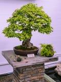 Plan rapproché d'arbre de bonsaïs Photographie stock libre de droits