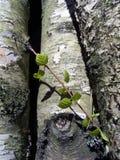 Plan rapproché d'arbre de bouleau Images stock