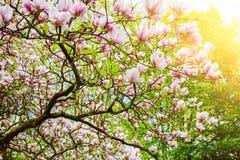 Plan rapproché d'arbre de floraison de magnolia contre le ciel lumineux Photos stock