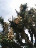 Plan rapproché d'arbre de Joshua fleurissant avec des cosses Images stock