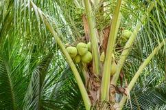 Plan rapproché d'arbre de noix de coco Images stock