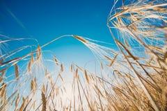 Plan rapproché d'or de blé dans un jour ensoleillé Images libres de droits