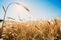 Plan rapproché d'or de blé dans un jour ensoleillé Photos stock