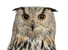 Plan rapproché d'Eagle Owl sibérien - bubo de Bubo photographie stock libre de droits
