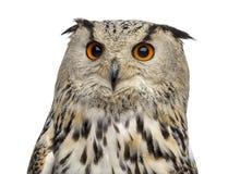 Plan rapproché d'Eagle Owl sibérien - bubo de Bubo photo stock