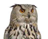 Plan rapproché d'Eagle Owl sibérien - bubo de Bubo photos stock