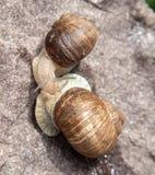 Plan rapproché d'escargot d'amour en nature Photographie stock libre de droits