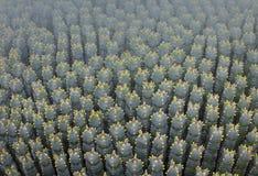 Plan rapproché d'espèce de cactus Image libre de droits