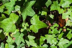 Plan rapproché d'hélice de Hedera ou de feuilles anglaises de lierre images libres de droits