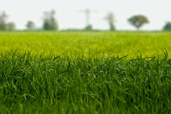 Plan rapproché d'herbe Images libres de droits