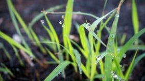Plan rapproché d'herbe avec la rosée sur l'herbe verte photo stock