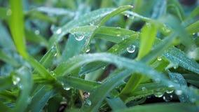 Plan rapproché d'herbe avec la rosée sur l'herbe verte images stock