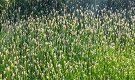 Plan rapproché d'herbe dans une compteur-lumière comme fond Image stock