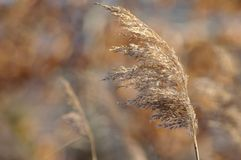 Plan rapproché d'herbe de Brown Image stock