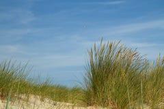 Plan rapproché d'herbe de gourbet Images libres de droits
