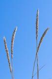 Plan rapproché d'herbe de gourbet ou de roseau des sables (arénaire d'Ammophila) Photo stock