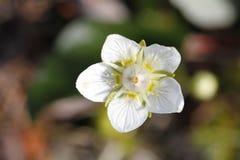 Plan rapproché d'herbe de Parnassia Palustris de fleur de Parnassus ou de fleur de Marais-étoile Photographie stock