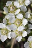 Plan rapproché d'herbe de Parnassia Palustris de fleur de Parnassus ou de fleur de Marais-étoile Image libre de droits