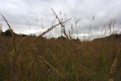 Plan rapproché d'herbe de prairie indigène images libres de droits
