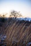 Plan rapproché d'herbe de prairie se pliant en vent au coucher du soleil en hiver Images stock