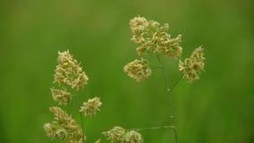 Plan rapproché d'herbe sur le vent banque de vidéos