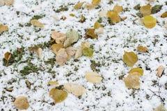 Plan rapproché d'herbe verte couvert de première neige et de feuilles jaunes tombées Fond, lumière colorés automnaux de chute et Photos stock