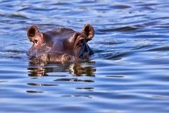 Plan rapproché d'hippopotame Images libres de droits