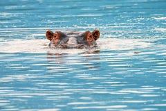 Plan rapproché d'hippopotame Photos stock