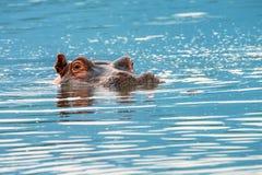 Plan rapproché d'hippopotame Photographie stock libre de droits