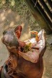 Plan rapproché d'hippopotame Images stock