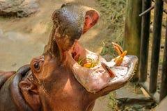 Plan rapproché d'hippopotame avec les gerçures ouvertes Image stock