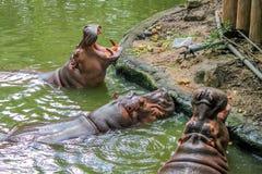 Plan rapproché d'hippopotame avec les gerçures ouvertes Photos stock