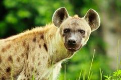 Plan rapproché d'hyène Images stock