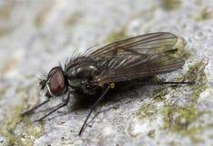 Plan rapproché d'instruction-macro d'insecte de mouche Image stock