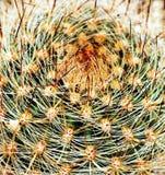 Plan rapproché d'instruction-macro de cactus Photographie stock libre de droits