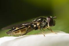 Plan rapproché d'instruction-macro de Hoverfly Photos libres de droits